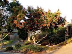 Queensland Waratah-tree in the front garden - by Tatters:)