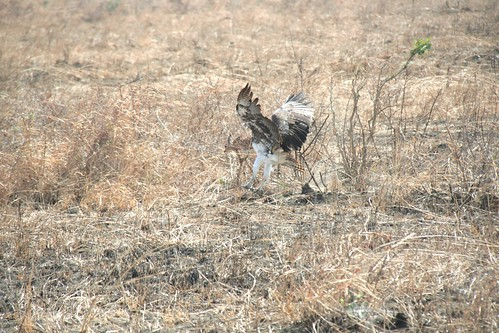 Martial Eagle attacking young Impala - 5 - Mikumi NP, Tanzania