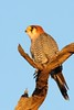 Red-knecked Falcon by Jacques de Villiers