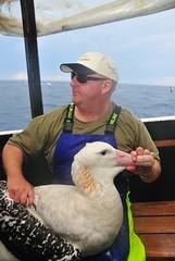I like Albatross ! (beeater) Tags: birds birding albatross birdbanding abirdinthehand sossa mvbanks stuartharrisphotography ulludullapelagic birdbandingaustralia aclassbirdbanders albatrossbanding pelagicbanding