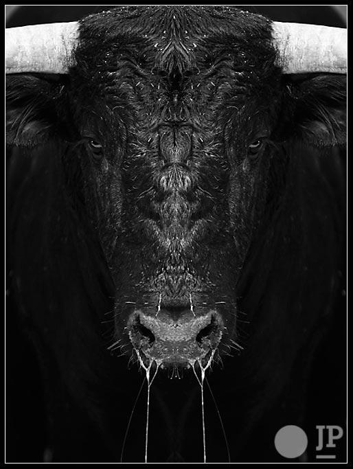 toro-derecho