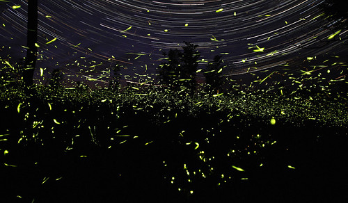 This is about one hour of firefly activity near my home in rural Ontario. The precision of the background star trails is an interesting contrast to the chaotic pattern of the firefly flashes. (Photo and caption by Steve Irvine)