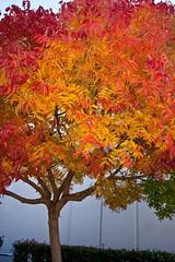 Chinese Pistache Tree 1989