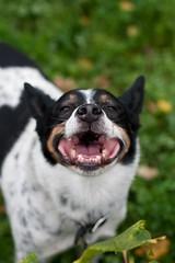 Cody (KayVee.INC) Tags: sf california ca dog pet cute green dogs smile puppy happy funny lol awesome australian adorable canine ironman kawaii cattledog australiancattledog loveable 2009 sanleandro acd cavey kayvee loldog kayveeinc msh03106 msh0310 msh1210 msh12105