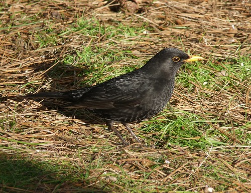 11824 - Male Blackbird at WWT Llanelli