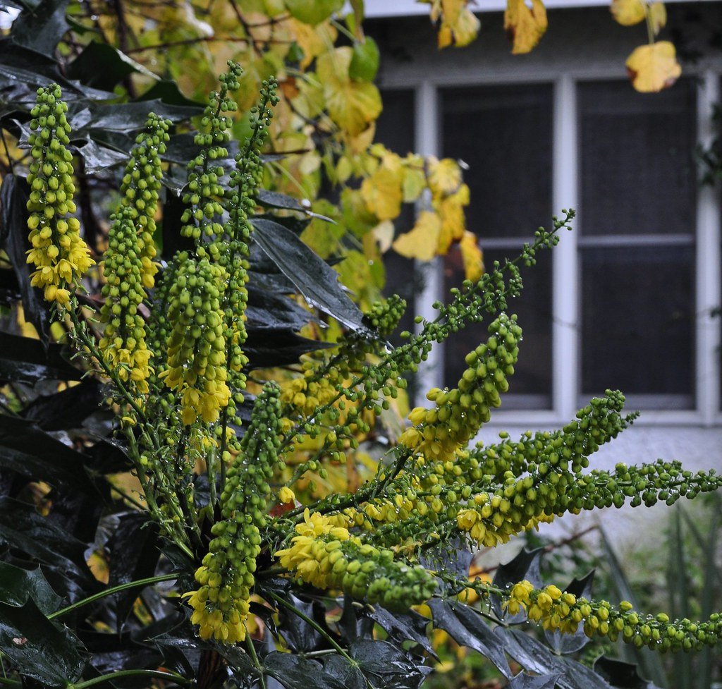 Mahonia x 'Winter Sun' 2
