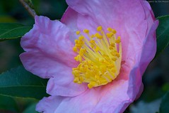 Camellia sasanqua (Jim Mayes) Tags: macro digital canon eos tripod 90mm manfrotto 272e  460mg 190b tamronspaf90mmf28dimacro