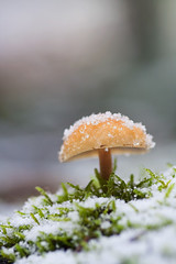 Smooth shroom - portrait (Geoffrey Gilson) Tags: winter white snow forest mushrooms snowflakes hiver smooth eiffel neige blanc fort champignons flocons hautesfagnes doux