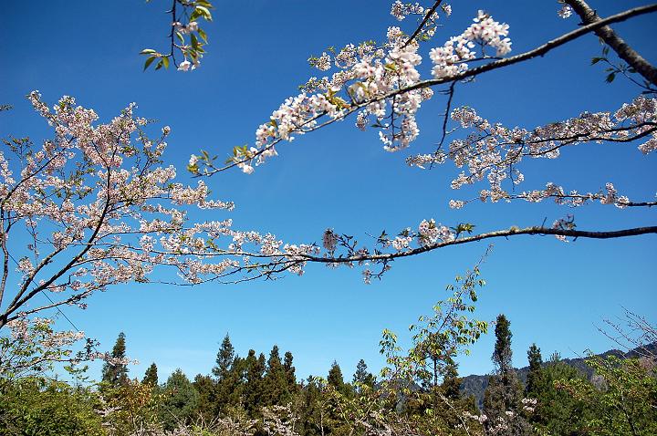 27阿里山櫻花