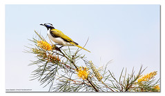 A Bird! - Blue-faced Honeyeater. ([ Kane ]) Tags: plants bird nature birds garden backyard australia honey qld bluefaced bluefacedhoneyeater honeyeater kane gem grevillea 70200mm gledhill 50d honeygemgrevillea kanegledhill wwwhumanhabitscomau kanegledhillphotography