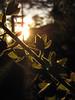 Foxglove (goo_97) Tags: sunset foxglove epiclight