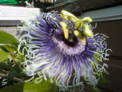 some of my passiflora 5797452684_b57e59b837