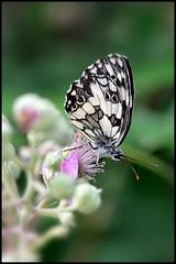 Farfalla 3 (Outlaw Pete 65) Tags: macro nature closeup butterfly nikon italia insects natura brescia lombardia farfalla insetti sigma105 d90 nikond90 mygearandme
