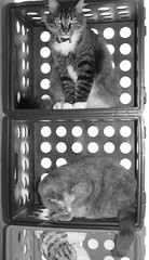 kitty cubbies (christmasnotebook) Tags: pet animal cat furry buttercup cropped boxes cubbies zilli aug2008 7daysofshooting kittycubbies camfoct08 blackandwhitewednesday editedstraightened week48circlesballs