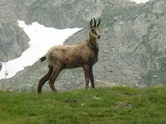 Chamois (loutraje) Tags: france montagne alpes mercantour chamois alpesmaritimes saintmartinvsubie jesuisvenuevousdire madonedesfenestres madonedefenestre