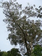 tall Eucalypt (louisa_catlover) Tags: garden australia bluemountains nsw mtwilson mountwilson opengarden seftoncottage