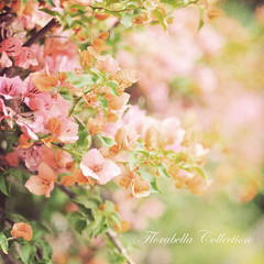 B O U G A I N V I L L E A (Shana Rae {Florabella Collection}) Tags: pink flowers light orange texture vintage nikon natural 85mm bougainvillea d700 shanarae florabellatextures