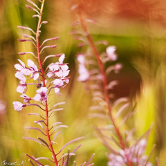 Willowherb dancing in the bokeh (Grant_R) Tags: flowers flower macro closeup garden square petals stem flora nikon bokeh yellowflower backgarden f18 wildflower flowercloseup willowherb flowermacro d90 extremebokeh nikon50mm purpleflowermacro nikonf1850mm nikond90 grantr dofdepthoffield