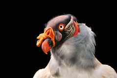 King vulture (Tambako the Jaguar) Tags: portrait bird zoo nikon colorful vulture impressive birdofprey kingvulture d300 potofgold amnville franice vosplusbellesphotos