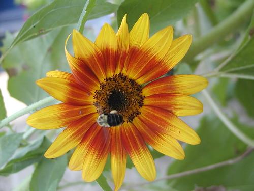 sunflowerbee08-24-09