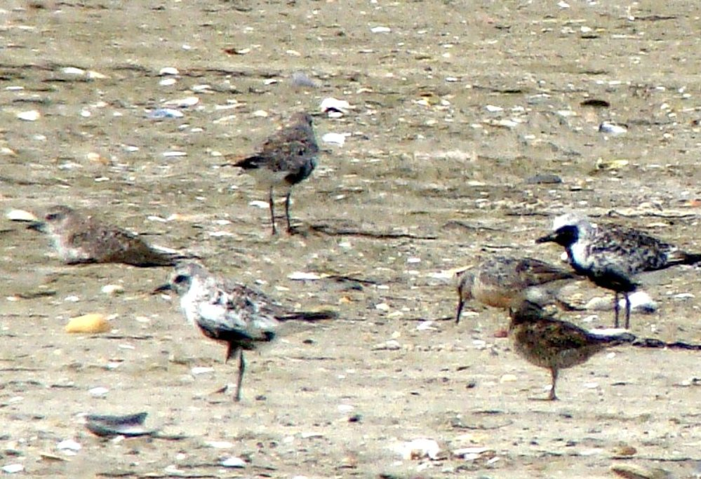 plovers and pipers