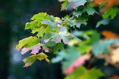 Fall is here (Hkan Dahlstrm) Tags: verde green fall leaf skne groen sweden schweden vert sverige grn oved grn sude oved svezia sjbo skne skanelan