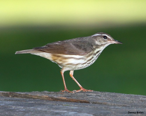 LOUISIANA WATERTHRUSH 6286
