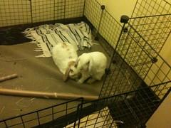 IMG_0421 (joandirk) Tags: cadbury snoopy rabbits minilop