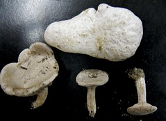Entoloma abortivum and its work