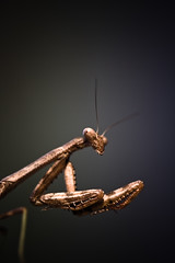 Wary (Ian Lacy) Tags: portrait macro nature canon bug insect dof bokeh praying pre handheld manualfocus antenna prayingmantis 100mmmacro mandibles 40d canon40d studio414