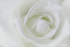White Rose (Pieter Musterd) Tags: white flower rose canon soft raw dream roos minimal wit droom s90 bloem lessismore zacht sereen anawesomeshot maagdelijk pietermusterd canons90