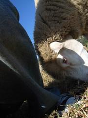 (hsuyo) Tags: sheep taiwan   grdigital  ricoh 2009  hsuyo  nantou  grd  chinjingfarm