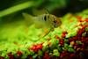 the new kid in the tank:  343/365 (helen sotiriadis) Tags: red orange fish macro green water yellow closeup canon aquarium published tank 365 cichlid canonef100mmf28macrousm apistogrammaramirezi canoneos40d toomanytribbles