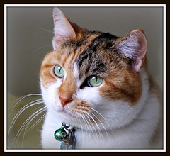 Stevie Nicks (Trish Hamme) Tags: stevie calico calicocat cc300 cc200 cc100 kissablekat bestofcats 100commentgroup 100commentsgroup