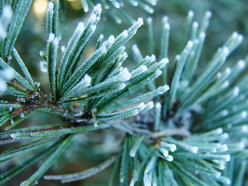 Christmas Day Pine Needles