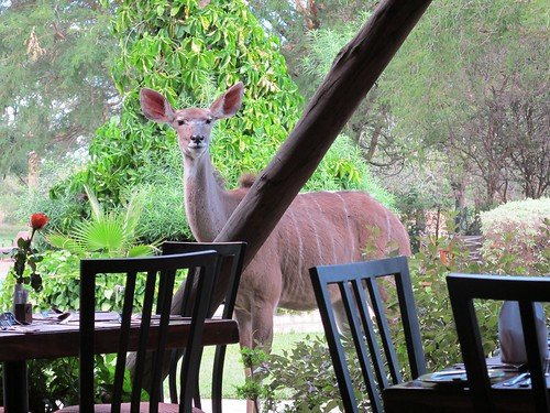 A Kudu joins us after lunch