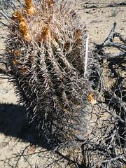 Ferocactus peninsulae v. viscainensis (amantedar) Tags: cactus ferocactus ferocactuspeninsulaevviscainensis