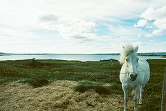 White Horse (Past Our Means) Tags: canon ae1 kodak film 35mm travel iceland ektar 100 analog green mountian indiefilmlab explore kodakfilm ektar100 canonae1 analogue indiefilm mountain filmphotography filmisnotdead istillshootfilm water 28mm road hiking adventures wanderlust horse white