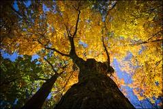 2016-10_D70_6414_20161018 (Réal Filion) Tags: cataraqui québec canada arbre automne couleur étéindien feuille feuillage tree fall automn color leaf foliage indiansummer