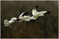 snow geese (Christian Hunold) Tags: snowgeese snowgoose goose bird schneegans bombayhooknwr delaware delmarva christianhunold