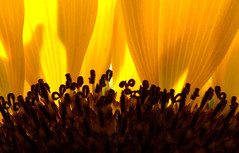 The Sunflower Audience (peasap) Tags: summer orange sun flower macro yellow sandiego sunday july sunflower