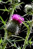 Flower O'Scotland (ImagesByRuthWilson) Tags: pink canon eos 50mm scotland thistle sting scottish 18 spikes flowerofscotland 450d ruthwilson rooooty