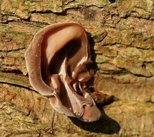 Tree Ear