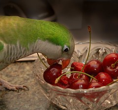 Bird and cherries (joshcalebwray) Tags: color photoshop d50 nikon texas nikond50 adobe granny quakerparrot northtexas femalephotography photoenhancing joshcalebwray photoshopelements photomanipulation slbfeeding cherriestamron