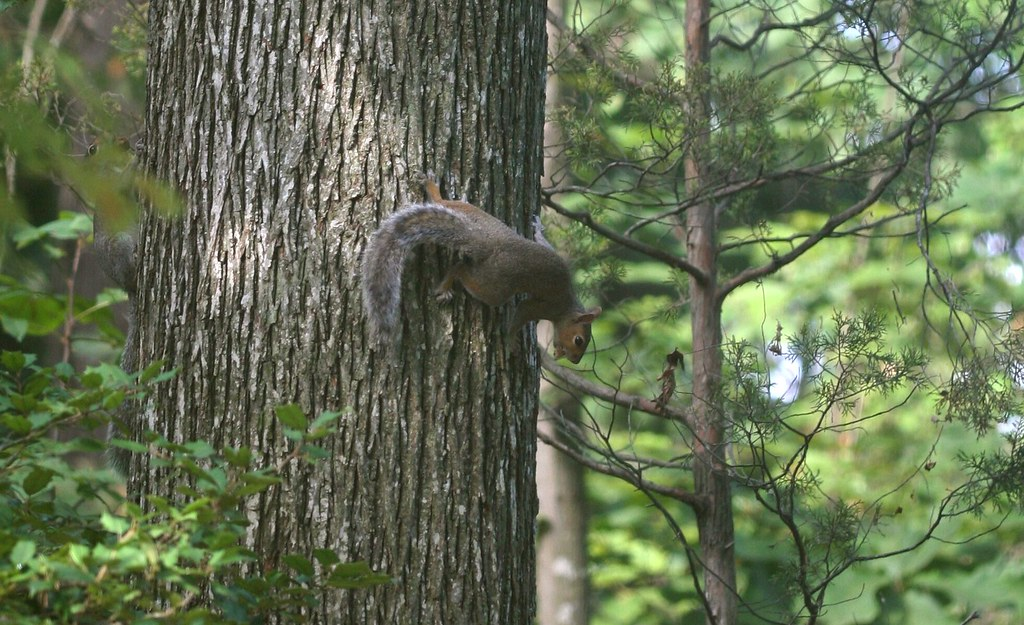 Two Squirrels With Nuts..... One Hickory Tree