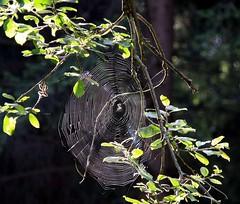 A diameter of about 35 centimetres! Stunning! (:Linda:) Tags: germany thringen ast village spiderweb thuringia cobweb round twig spinne circular spinnwebe zweig brden