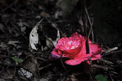 Abandoned Rose (-Nicole-) Tags: pink flowers newzealand plants flower nature leaves forest grey nikon nz wellington wellingtonnewzealand sigma105mmf28exmacro d90 sigma105mm wellingtonbotanicgardens wellingtonnz nikond90