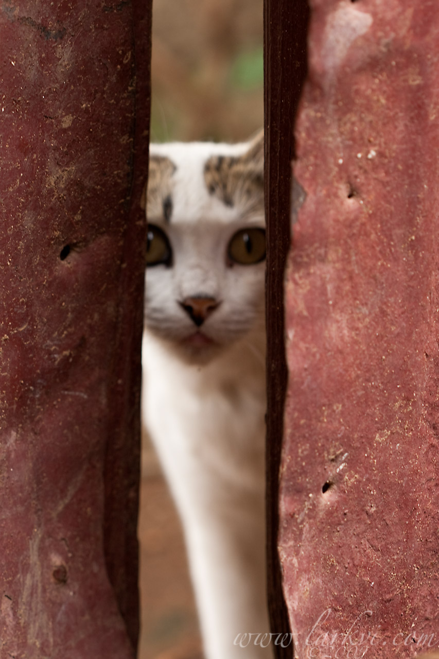 Cat #4(a), Harar, Ethiopia, July 2009