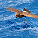 European Storm Petrel (Hydrobates pelagicus)