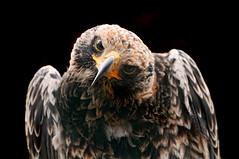 [フリー画像] [動物写真] [鳥類] [猛禽類] [鷲/ワシ]       [フリー素材]